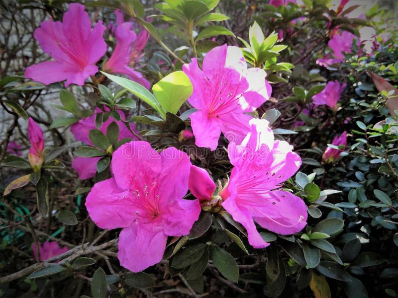 Azaleen in der Blüte, Februar, Florida stockfotografie