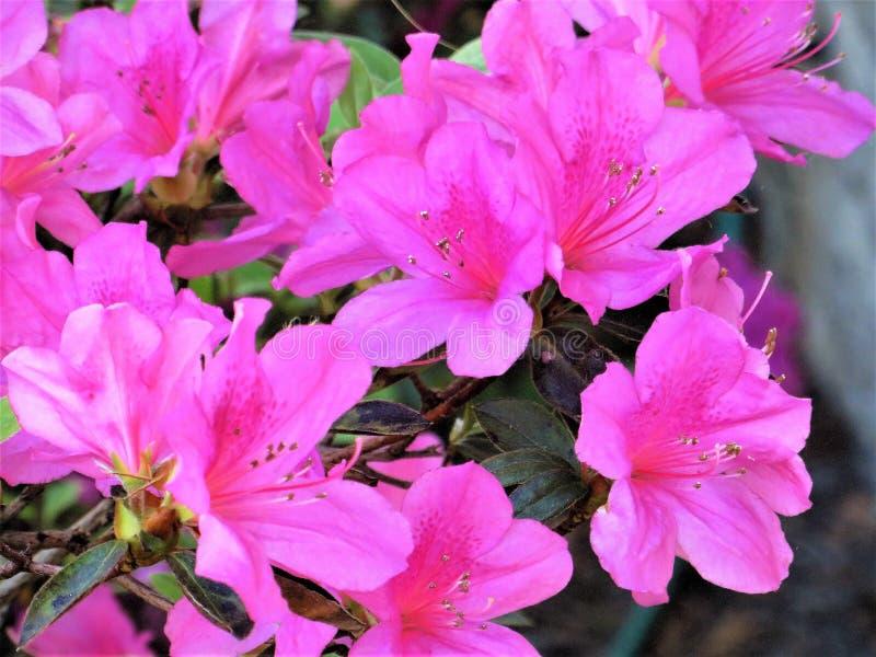 Azaleen in der Blüte, Februar, Florida stockbilder
