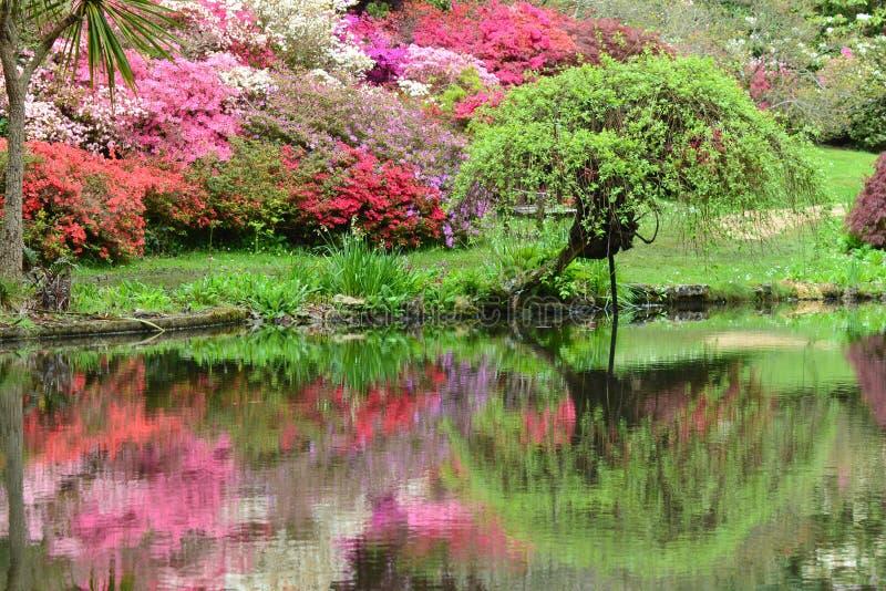Azaleen, die im Teich sich reflektieren stockfotos