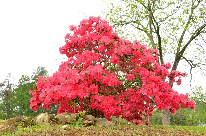 Azaleen (SP Rhododendron) lizenzfreies stockbild