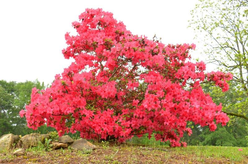 Azaleen (SP Rhododendron) lizenzfreie stockfotografie