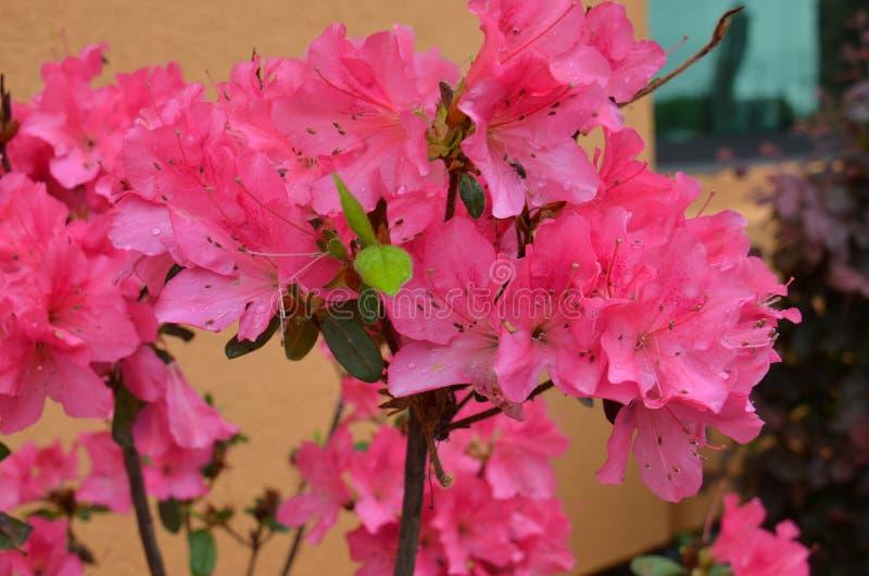 Azaleen (SP Rhododendron) stockbilder