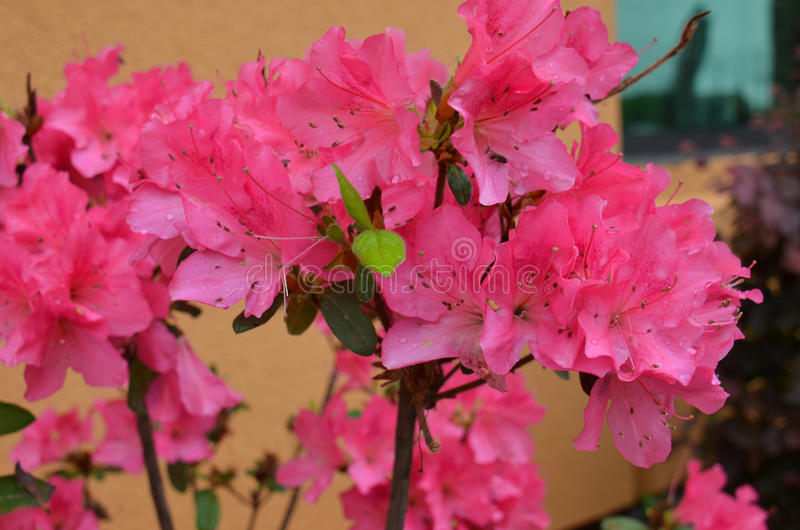 Azaleen (SP Rhododendron) lizenzfreie stockfotos