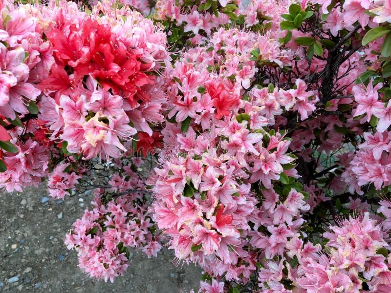 Azaleenblume stockfotos