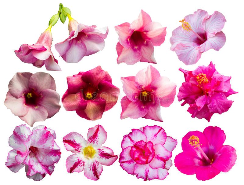 Azaleenblumen und -mehr lizenzfreie stockfotos