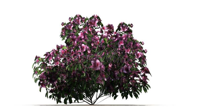 Azaleenbusch mit rosa Blüten lizenzfreie abbildung