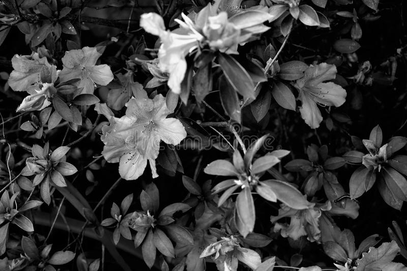 Azalia krzak w czarny i biały z gąsienicą obrazy royalty free