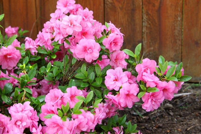 Azalia, kwiatonośnych krzaków genus różanecznik członek obrazy stock