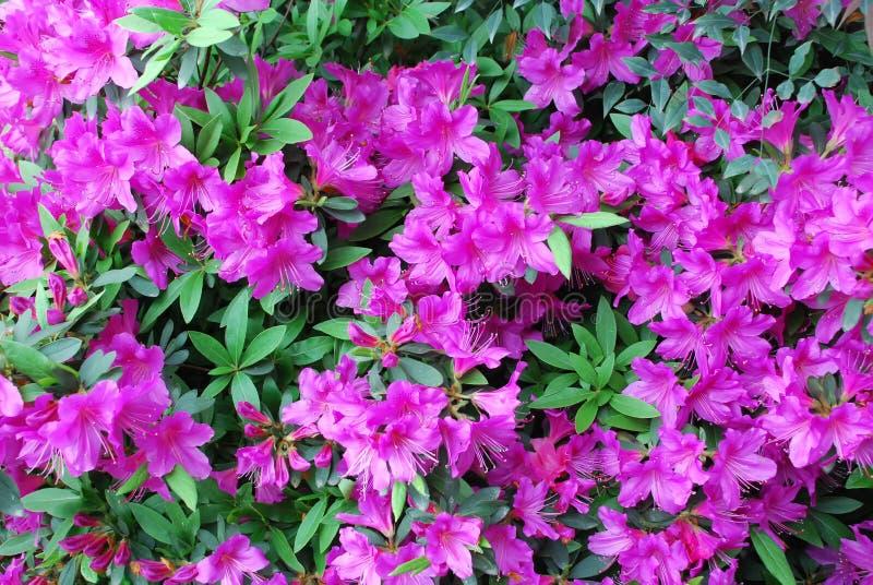 azalia kwitnie brzoskwini menchie obrazy stock