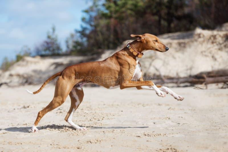 Azawakh psa bieg na plaży obrazy stock
