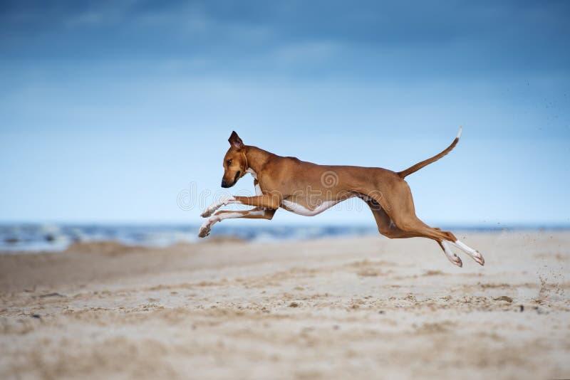 Azawakh psa bieg na plaży fotografia royalty free