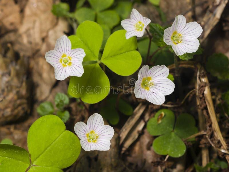 A azeda de madeira comum, acetosella de Oxalis, floresce o macro com as folhas defocused, foco seletivo, DOF raso imagens de stock