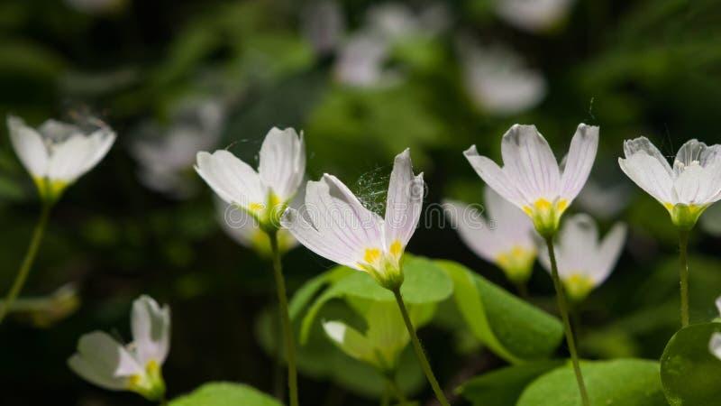 Azeda de madeira comum, acetosella de Oxalis, macro da flor com luminoso, foco seletivo, DOF raso foto de stock