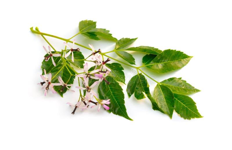 Azedarach de Melia, arbre de chinaberry, fiert? de l'Inde, perle-arbre, lilas de cap, berrytree de syringa, lilas persan photos stock