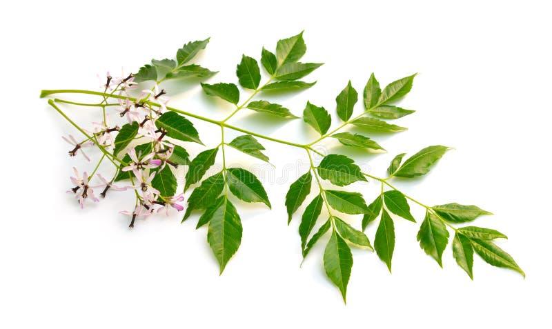 Azedarach de Melia, arbre de chinaberry, fiert? de l'Inde, perle-arbre, lilas de cap, berrytree de syringa, lilas persan images stock