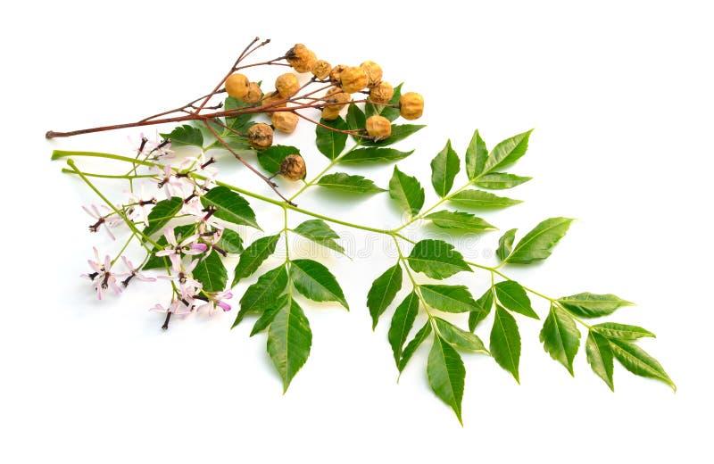 Azedarach de Melia, arbre de chinaberry, fiert? de l'Inde, perle-arbre, lilas de cap, berrytree de syringa, lilas persan image stock