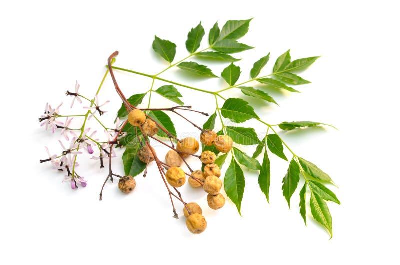Azedarach de Melia, arbre de chinaberry, fiert? de l'Inde, perle-arbre, lilas de cap, berrytree de syringa, lilas persan photo libre de droits