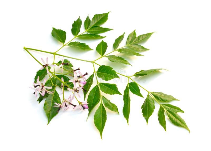 Azedarach de Melia, arbre de chinaberry, fiert? de l'Inde, perle-arbre, lilas de cap, berrytree de syringa, lilas persan photographie stock libre de droits