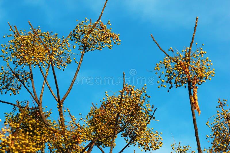 Azedarach do Melia, árvore de Chinaberry comum do nome ou lilás persa fotografia de stock royalty free