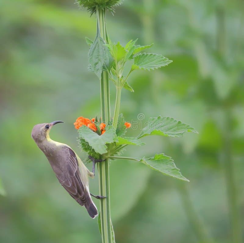 Azeitona - sunbird suportado imagem de stock royalty free