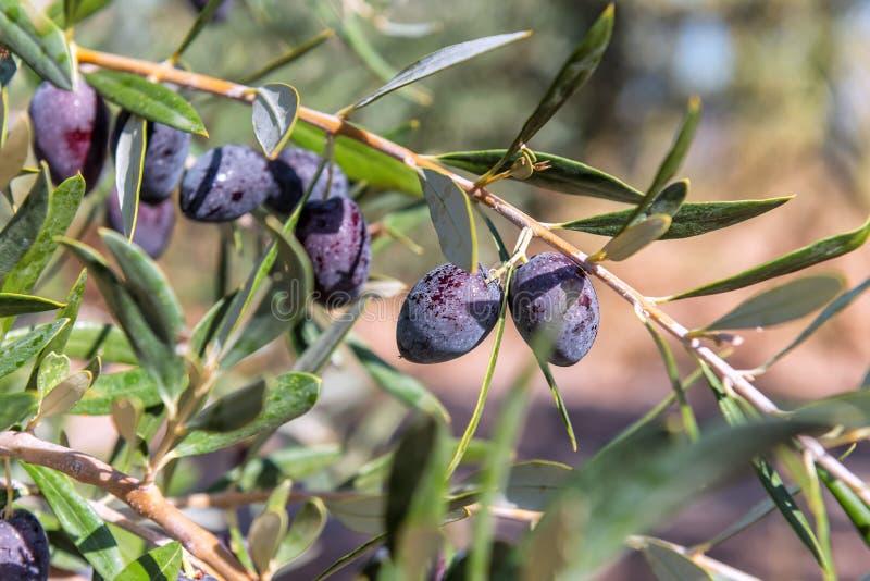 Azeitonas deliciosas pretas fotografia de stock royalty free