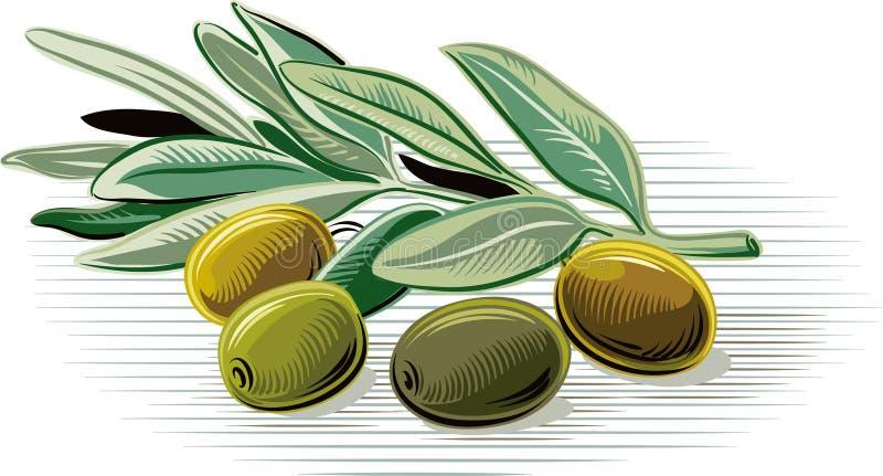 Azeitonas em um ramo de oliveira pequeno ilustração do vetor