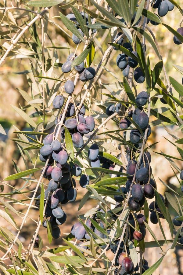 Azeitonas espanholas pretas que amadurecem na oliveira foto de stock