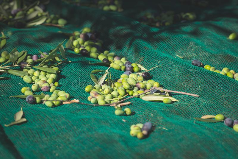 Azeitonas frescas verdes e pretas na rede Colhendo no cultivar de Liguria, de Itália, de Taggiasca ou de Caitellier Imagem tonifi fotografia de stock royalty free