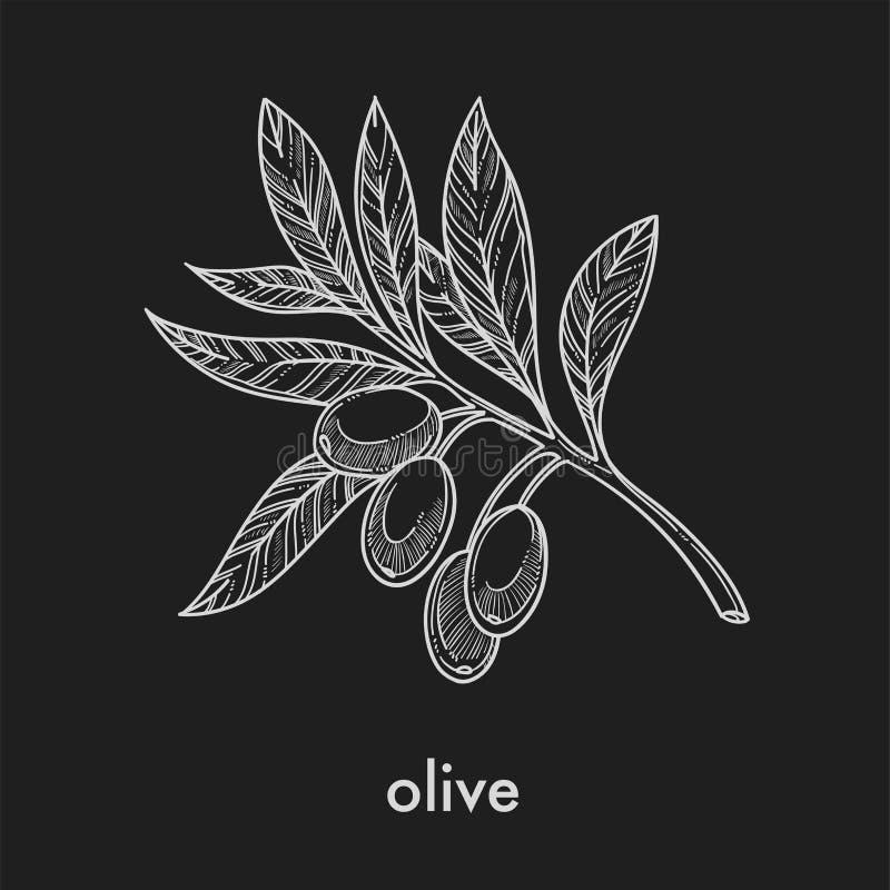 Azeitonas maduras no ramo pequeno com esboço do monochrome das folhas ilustração stock