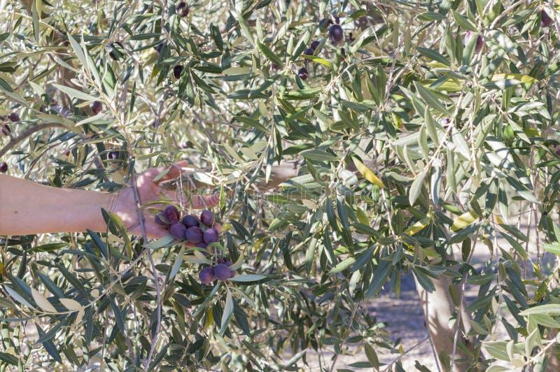 Azeitonas na árvore imagens de stock
