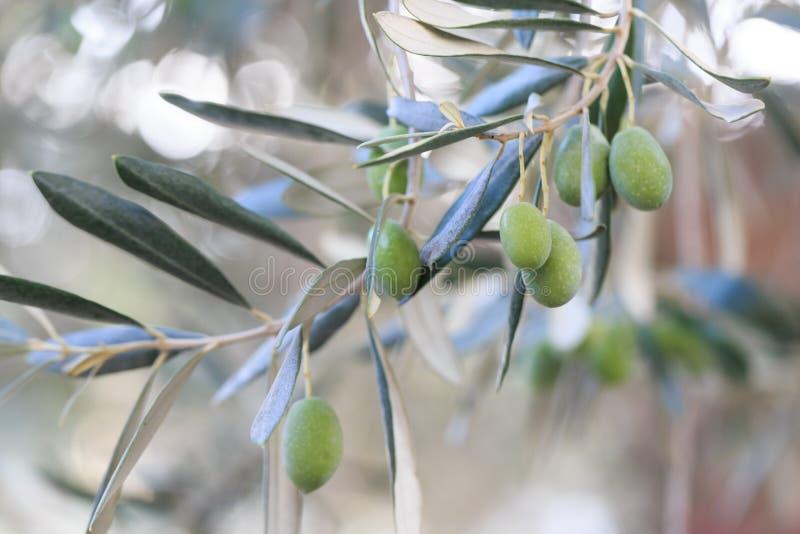 Azeitonas verdes que penduram na oliveira foto de stock