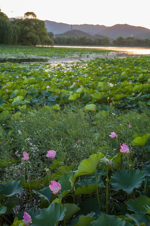 Azië China, de Zomerpaleis, lotusbloemvijver stock foto's