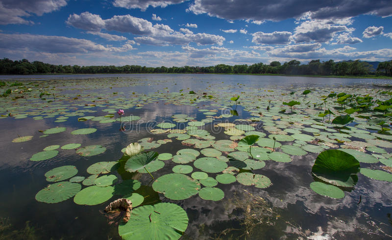 Azië China, Peking, Oud de Zomerpaleis, lotusbloemvijver stock fotografie