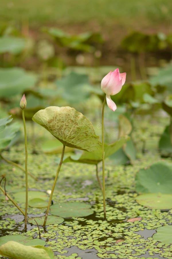 Azië, Vietnam, Roze lotusbloembloem stock foto's
