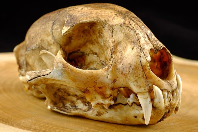 Aziaat goldden kat of de kattenschedel en hoektand van Temminck stock afbeelding