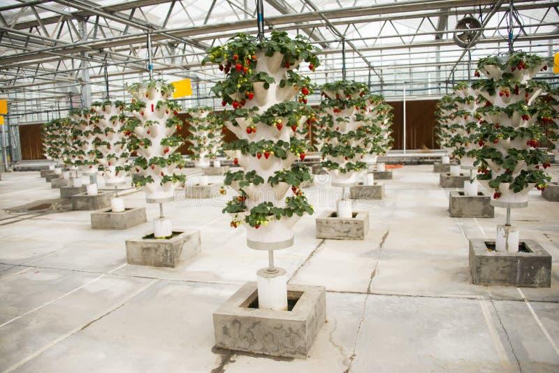 Aziatisch China, Peking dat, landbouw Carnivalï ¼ ŒGreenhouse, aardbei plant royalty-vrije stock fotografie