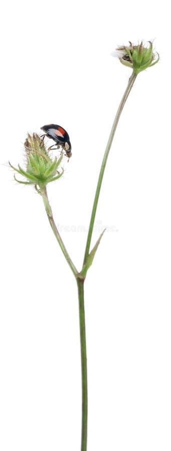 Aziatisch lieveheersbeestje, of Japans lieveheersbeestje stock fotografie