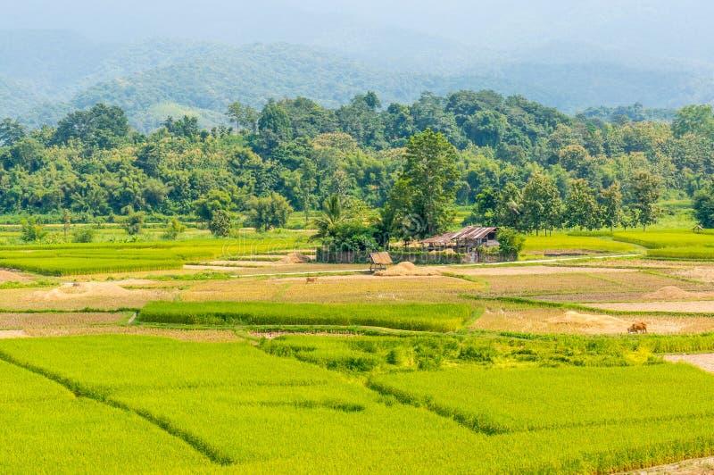 Aziatisch padieveld na oogst in Nan-provincie, Thailand stock afbeeldingen