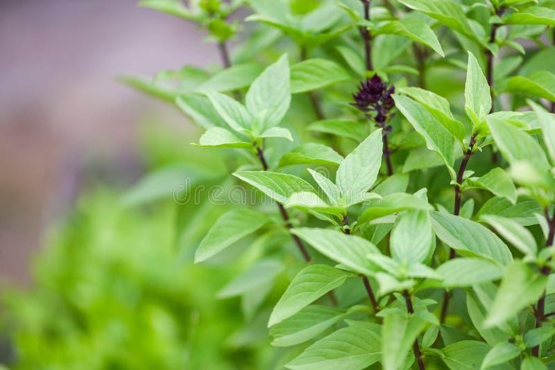 Aziatisch Thais groen basilicumblad - de Verse boom van de basilicuminstallatie op aardachtergrond royalty-vrije stock afbeeldingen