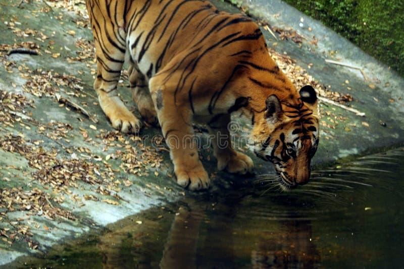 Aziatisch Tijger drinkwater in Indisch zoölogisch park stock fotografie