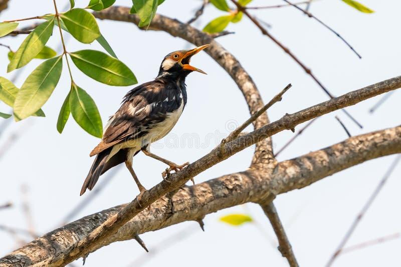 Aziatische Bonte Starling die op Sonneratia-caseolaristoppositie neerstrijken stock afbeeldingen