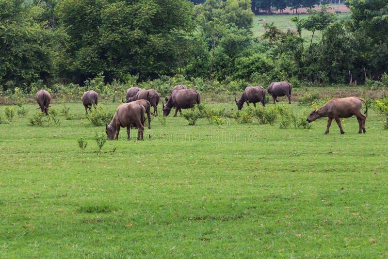 Aziatische buffels stock afbeelding