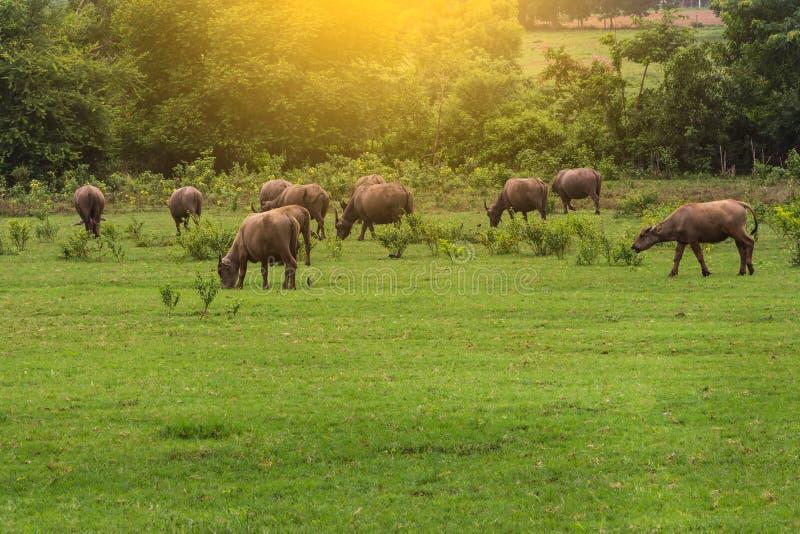 Aziatische buffels stock afbeeldingen