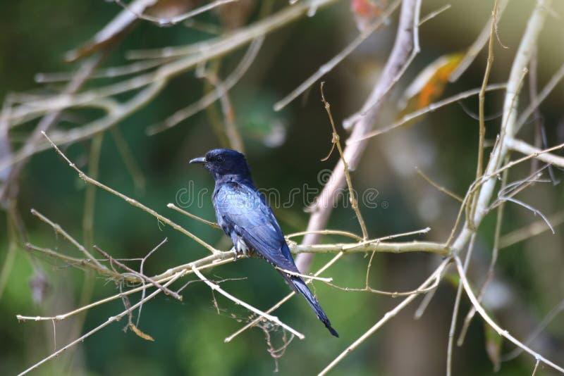 Aziatische drongo-Koekoek stock fotografie