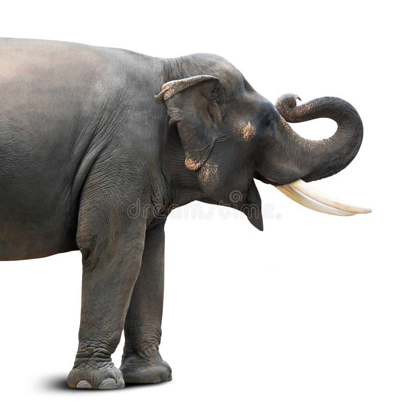 Aziatische geïsoleerde olifant stock foto's