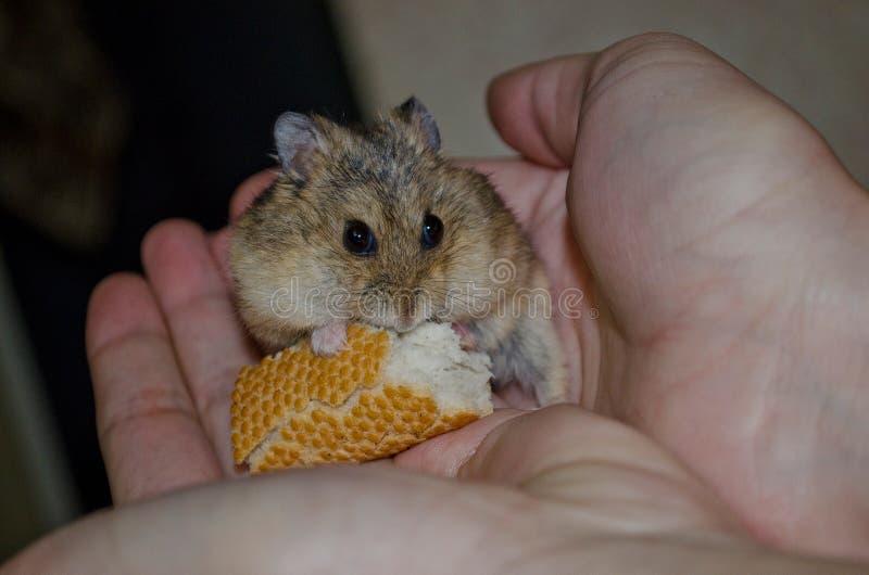 Aziatische hamster op de palm stock afbeelding