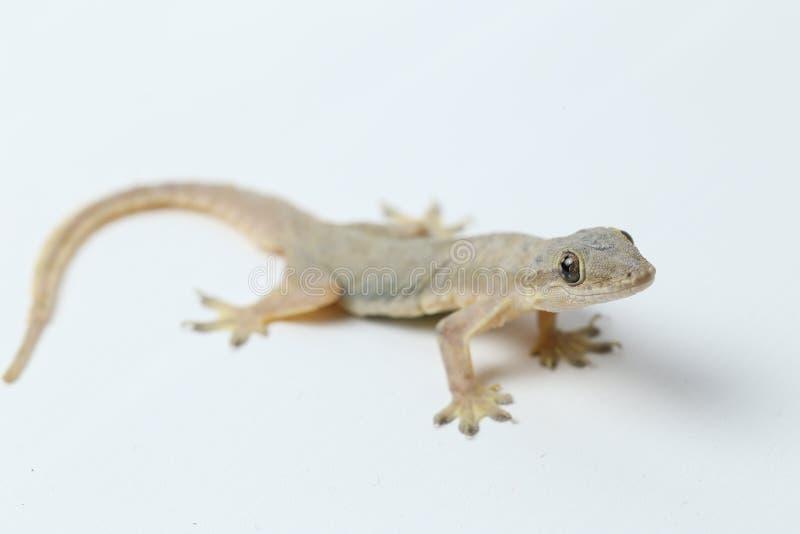 Aziatische hemidactylus van de Huishagedis of gemeenschappelijke gekko stock foto