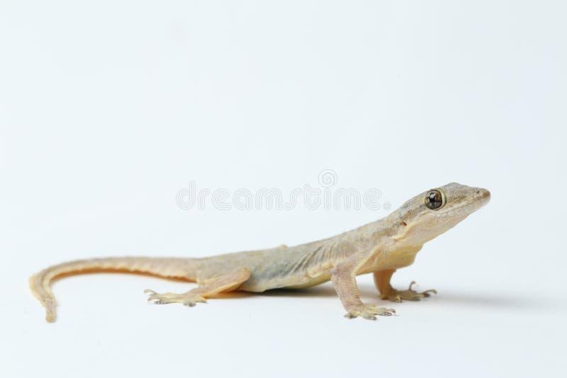 Aziatische hemidactylus van de Huishagedis of gemeenschappelijke gekko stock fotografie
