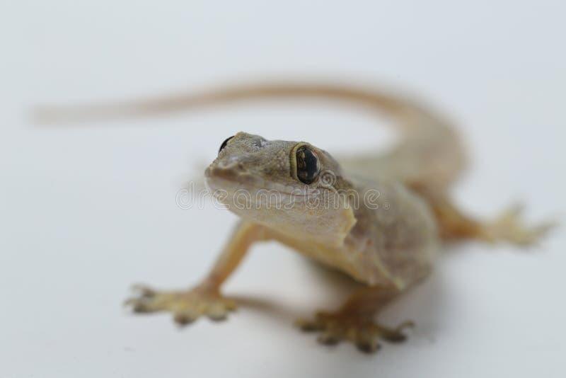 Aziatische hemidactylus van de Huishagedis of gemeenschappelijke gekko stock afbeeldingen