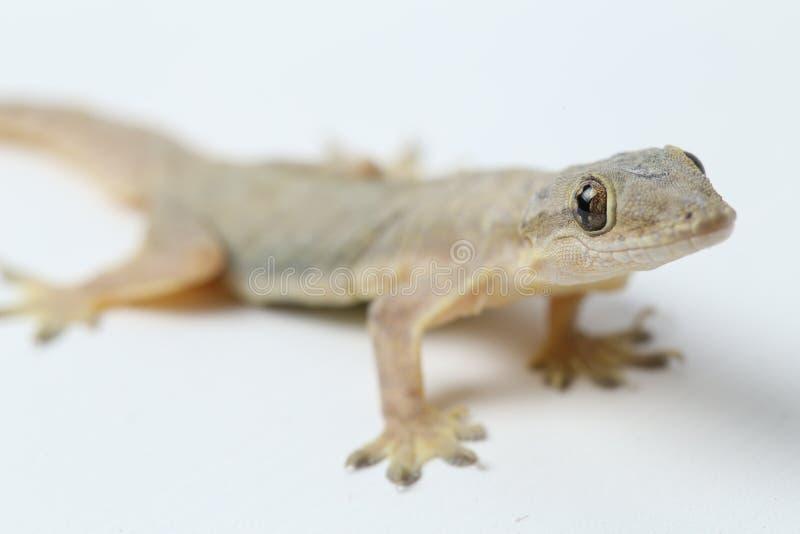 Aziatische hemidactylus van de Huishagedis of gemeenschappelijke gekko royalty-vrije stock afbeelding